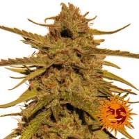 Purchase PINEAPPLE HAZE REGULAR - 10 seeds