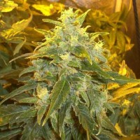 Purchase NORTHERN LIGHT FEM 5 SEEDS