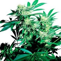 Purchase SKUNK KUSH REGULAR (SENSI SEEDS)