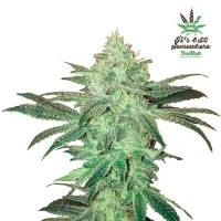Purchase STARDAWG