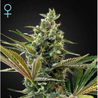 Purchase Super Lemon Haze Auto CBD
