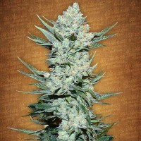 Purchase TANGIE'MATIC