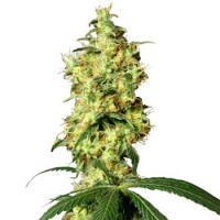 Purchase White Widow Automatic (White Label)