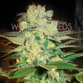 Afghan Kush x White Widow - 12 seeds
