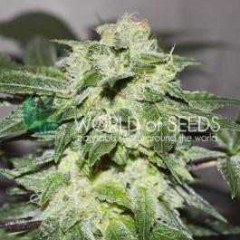 Chronic Haze - 3 seeds