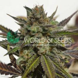 Northern Light x Skunk - 7 seeds