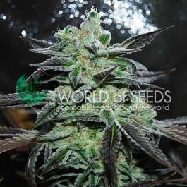 Strawberry Blue - 12 seeds