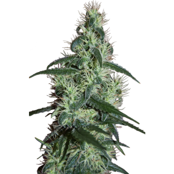 BLIZZARD - 5 UNDS. (SEED MAKERS) - Root Catalog - Alle Produkte