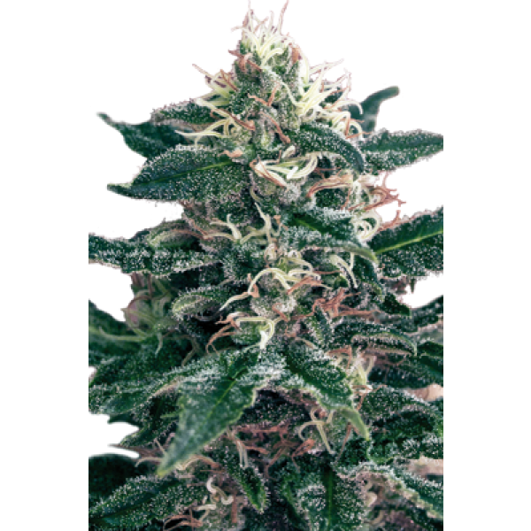 CHEEX - 5 UNDS. (SEED MAKERS) - Root Catalog - Alle Produkte