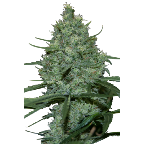 CRITICAL - 5 UNDS. (SEED MAKERS) - Root Catalog - Alle Produkte