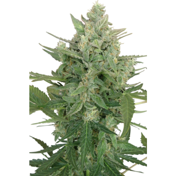 LOWDWARF AUTO - 5 UNDS. (SEED MAKERS) - Root Catalog - Alle Produkte