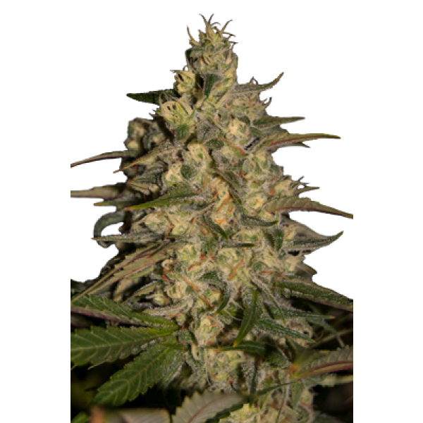SILVER JACK - 5 UNDS. (SEED MAKERS) - Root Catalog - Alle Produkte