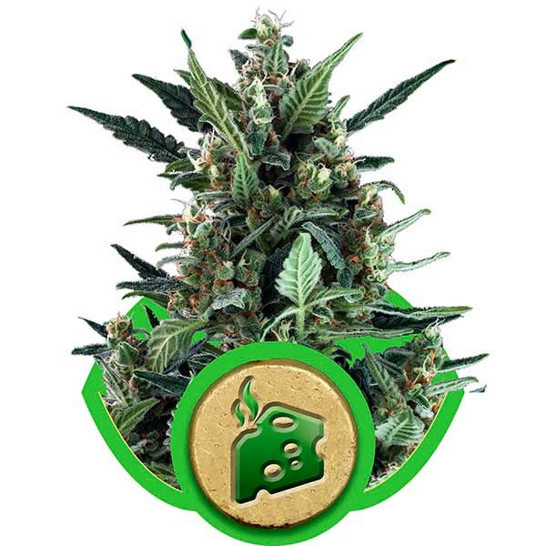 Blue Cheese Automatic - ROYAL-QUEEN SEEDS