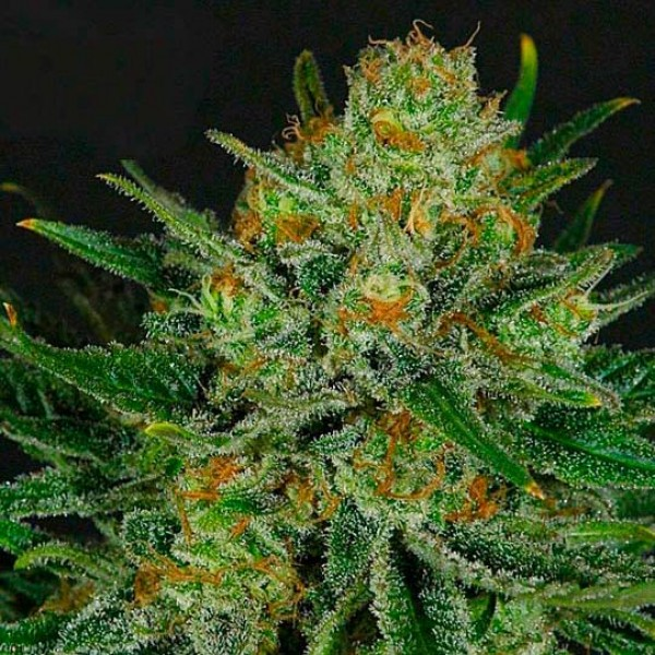 DOUBLE GLOCK - RIPPER SEEDS