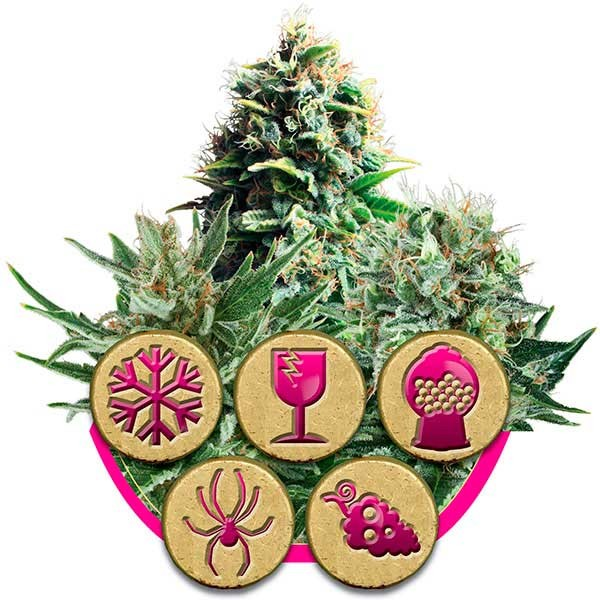 Feminized Mix - ROYAL-QUEEN SEEDS