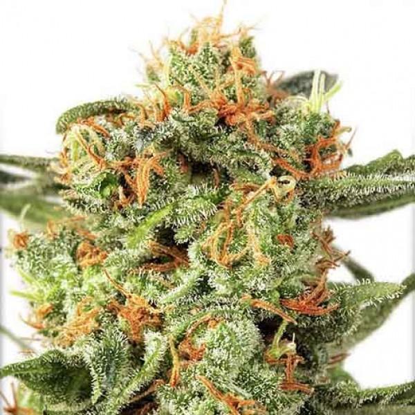 Orange Hill Special Regular - 10 Seeds - DUTCH PASSION
