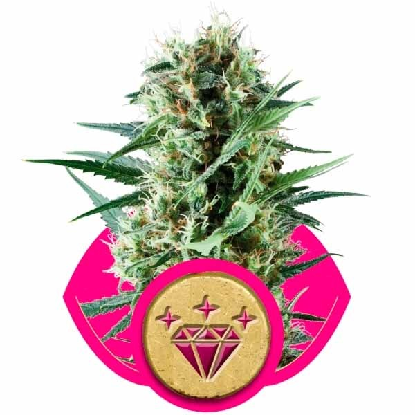 SPECIAL KUSH #1 - ROYAL-QUEEN SEEDS