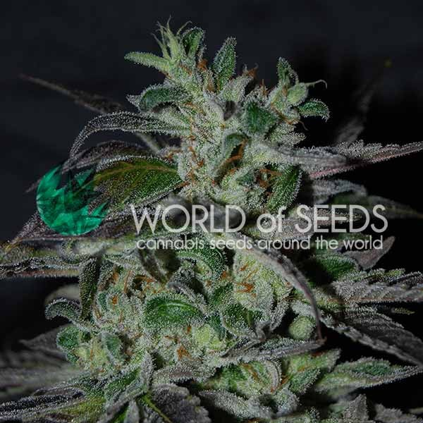 Strawberry Blue Early Harvest - WORLDOFSEEDS