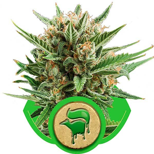 Sweet Skunk Automatic - ROYAL-QUEEN SEEDS