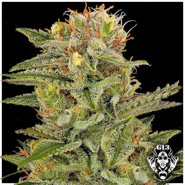 SWEET AMNESIA - 5 seeds - G13 Labs