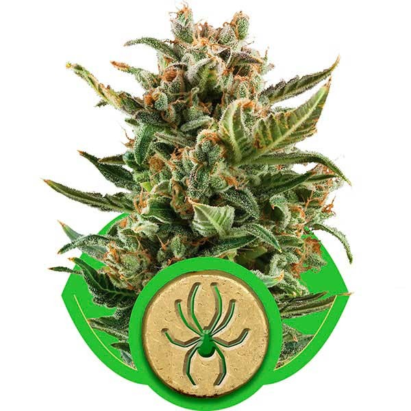 White Widow Automatic - ROYAL-QUEEN SEEDS