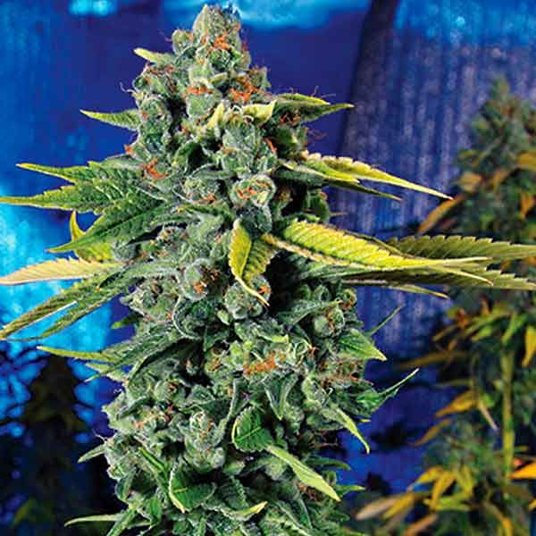 Blue Dream Haze - 6 seeds - The Cali Connection