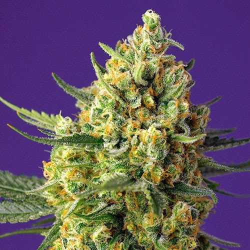Crystal Candy XL Auto - Autoflowering - SWEET SEEDS