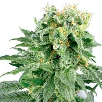 DOUBLE GUM REGULAR (WHITE LABEL) - Regular - SENSI SEEDS