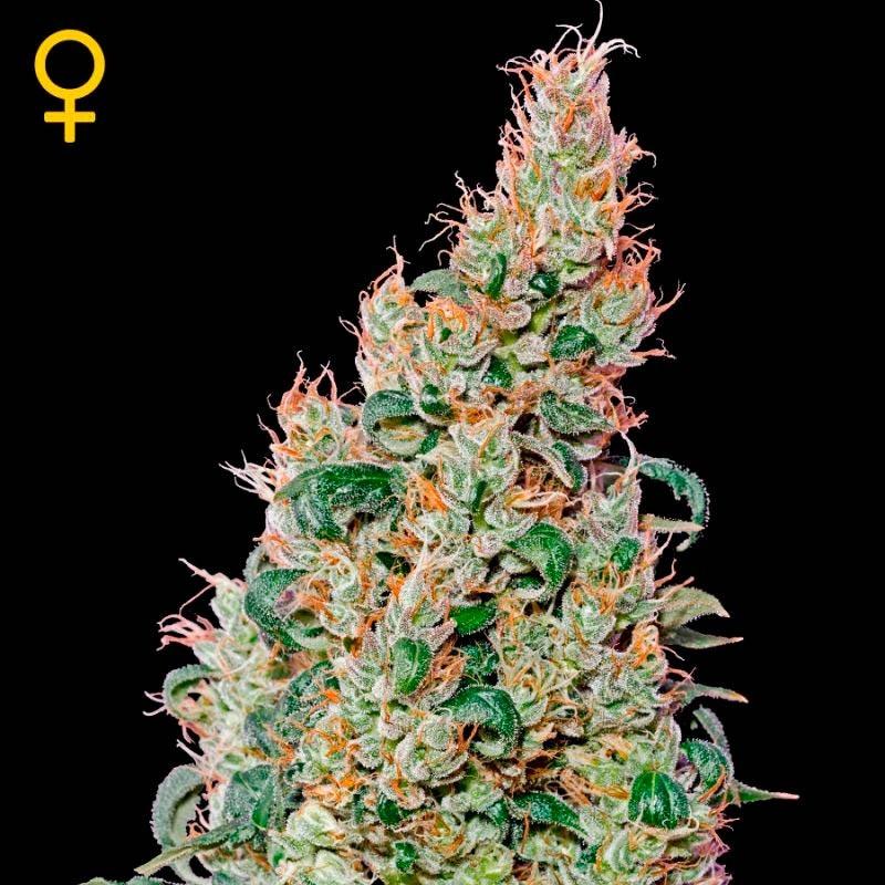 Green-O-Matic  - Autoflowering - GREENHOUSE