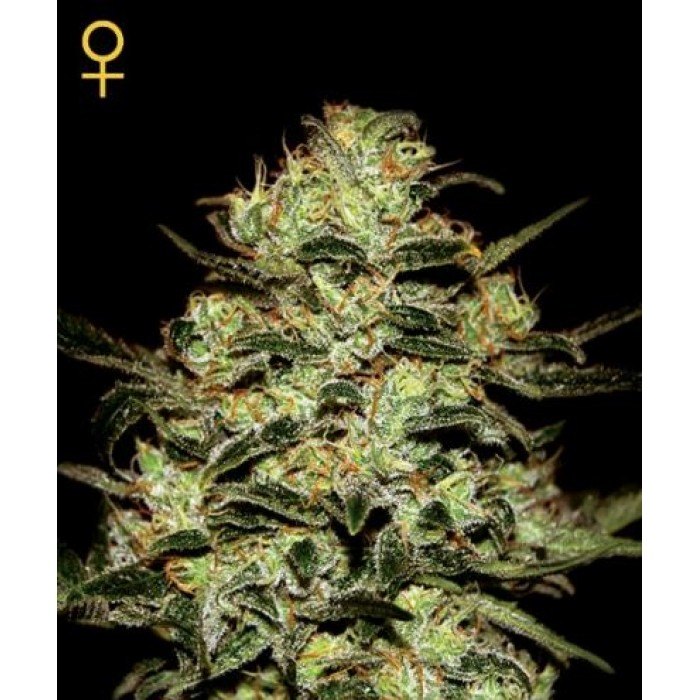 MOBY DICK FEM 3 SEEDS (GREENHOUSE)