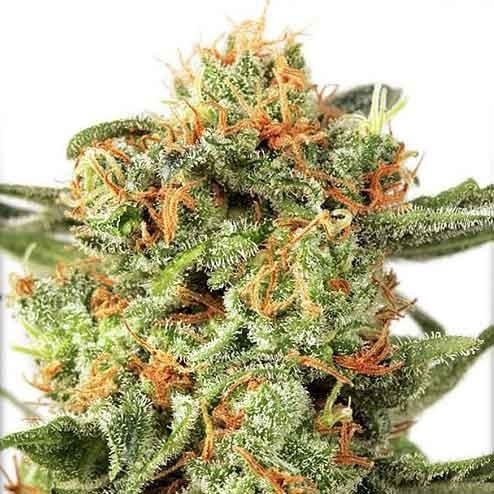 Orange Hill Special Regular - 10 Seeds