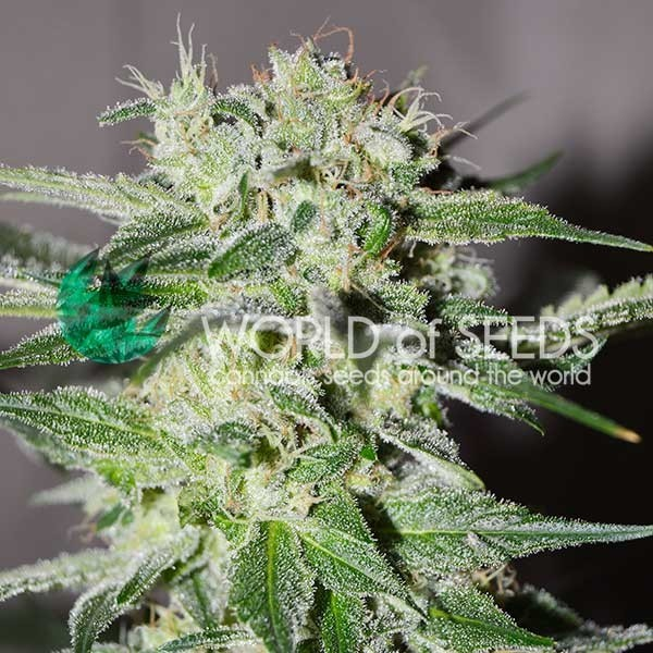 PAKISTAN VALLEY EARLY HARVEST - EARLY HARVEST - WORLDOFSEEDS