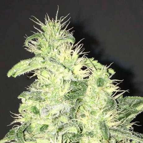 Supreme CBD Kush 5 Seeds