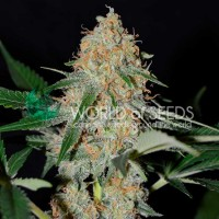Purchase AFGHAN KUSH EARLY HARVEST