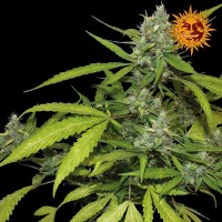 Purchase SWEET TOOTH AUTO