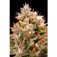 Purchase CHEMDAWG