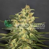 Purchase Ketama: 10 Seeds