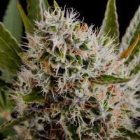 Purchase Lithium OG Kush Fem 5 Seeds