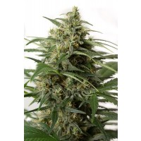 Purchase MOBY DICK XXL AUTO