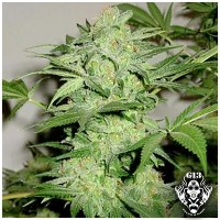 Purchase NL AUTO - 5 seeds