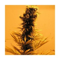 Purchase RASPBERRY COUGH FEM 5 SEEDS