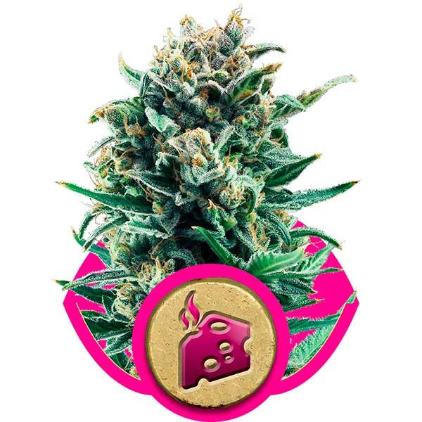 Blue Cheese - ROYAL-QUEEN SEEDS