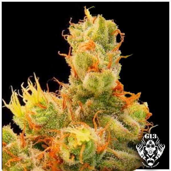 BLUEBERRY GUM - 5 seeds - G13 Labs