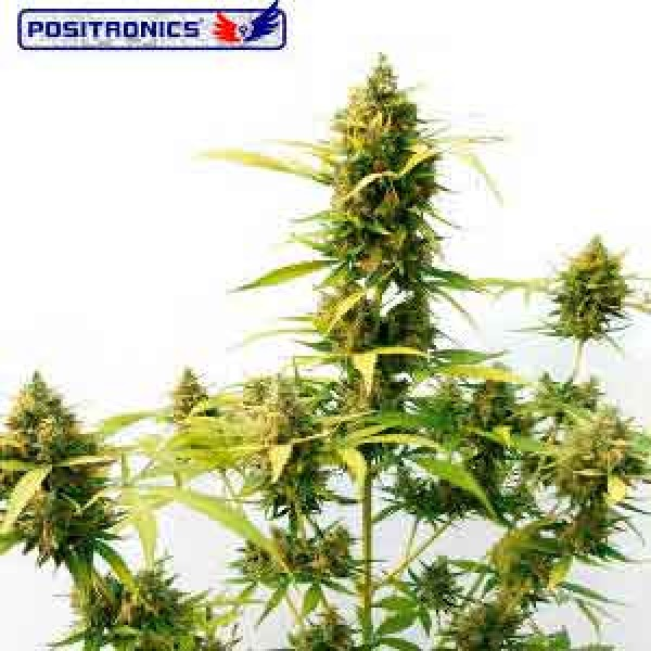 Critical Express - POSITRONICS SEEDS