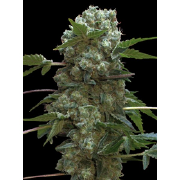 DOBLE AK 47 FEM 10 UNIDS (PROFESSIONAL SEEDS) - PROFESSIONAL SEEDS