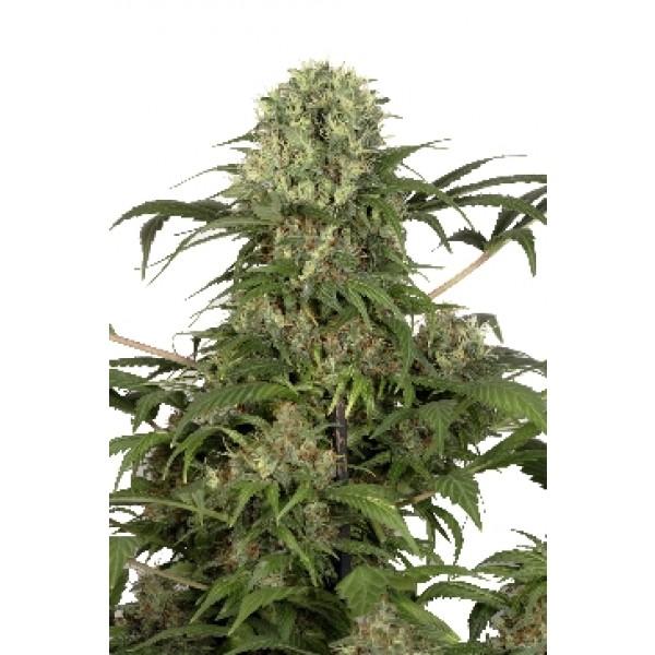 GREEN SPIRIT - 5 seeds (DUTCH PASSION) - Root Catalog - Tous les Produits