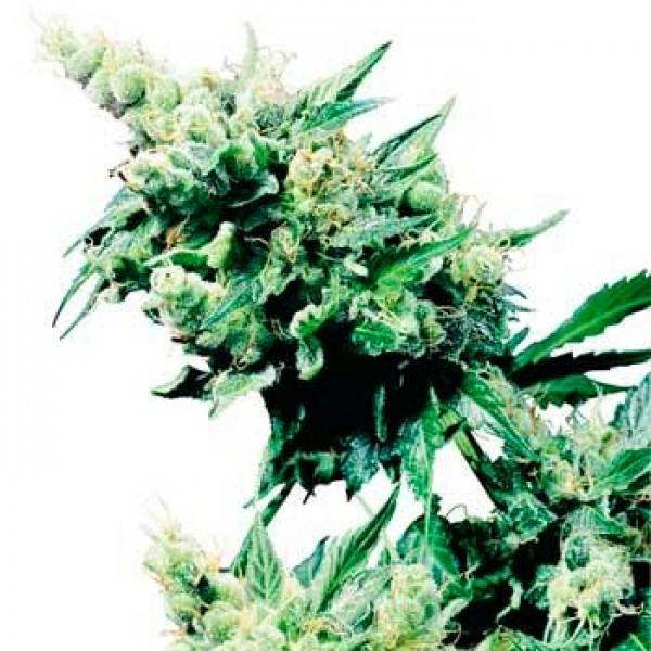 HASH PLANT REGULAR (SENSI SEEDS) - SENSI SEEDS