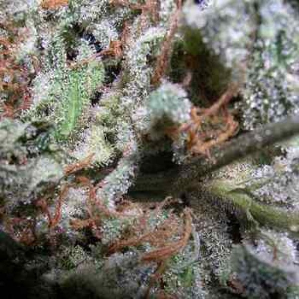Indica Champions Pack - PARADISE SEEDS FEMINISEES