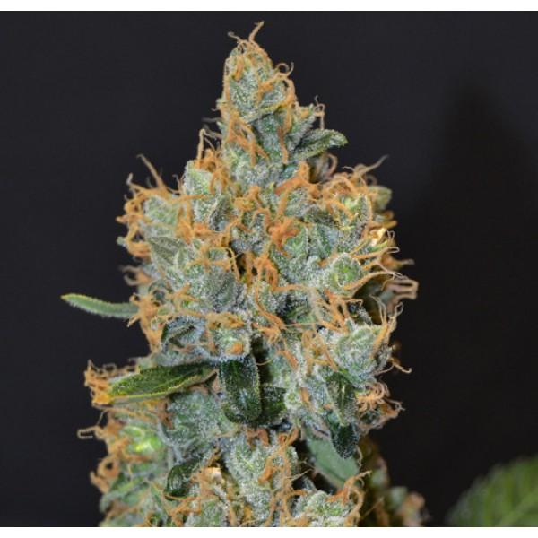 Lavender - CBD SEEDS