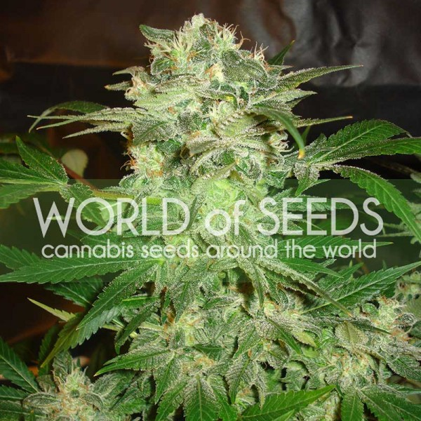 MAZAR KUSH - WORLDOFSEEDS - LEGEND COLLECTION